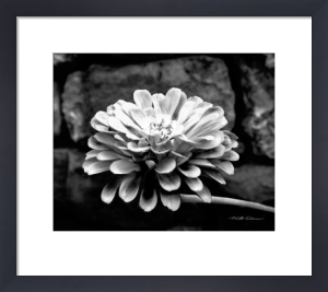 Zinnia by Harold Silverman