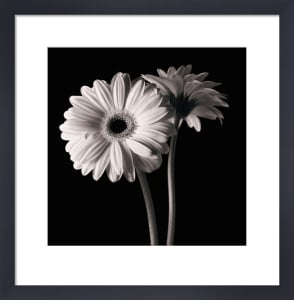 Gerber Daisies 1 by Michael Harrison