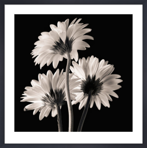 Gerber Daisies 2 by Michael Harrison