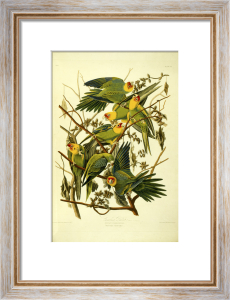 Carolina Parrots by John James Audubon