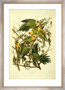 Carolina Parrots by John James Audubon