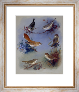 Various Warblers, 1913 by Archibald Thorburn