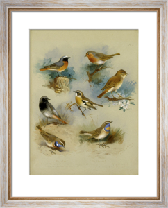 Redstart, Black Redstart, White-Spotted Bluethroat, Whinchat .. by Archibald Thorburn