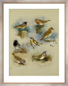Redstart, Black Redstart, White-Spotted Bluethroat, Whinchat .. by Archibald Thorburn