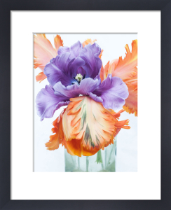 Blue and Orange Parrot Tulips by Sabina Ruber