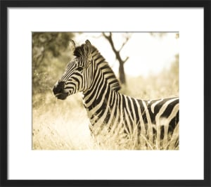 Zebra by Robert Cadloff