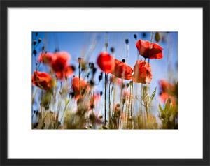 Poppies by David Purdie