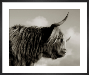 Highland Cattle Study I by Chris Tancock