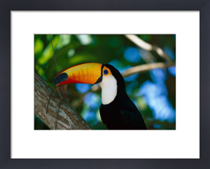 Toco Toucan by LOOK