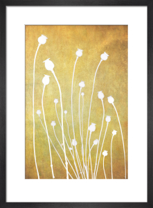 Poppy Study in Gold by Doug Chinnery