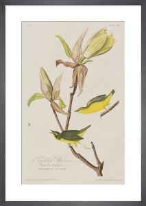 Kentucky Warbler by John James Audubon