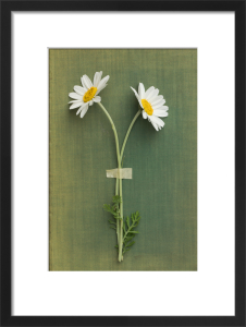 Two Daisies by Deborah Schenck