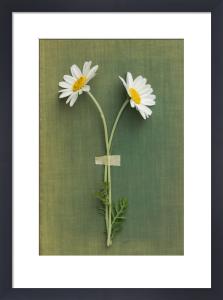 Two Daisies by Deborah Schenck