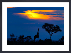 Giraffe at Sunset by Mario Moreno