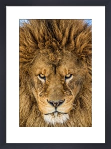 Serious Lion by Mike Centioli