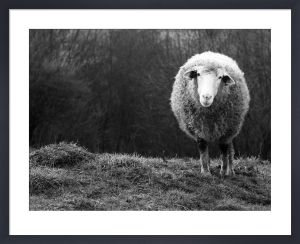 Wondering Sheep by Ajven