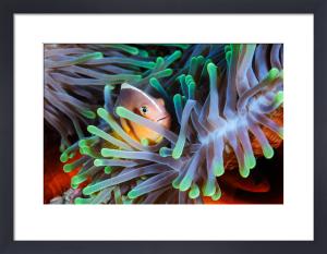 Clownfish by Gabriel Barathieu