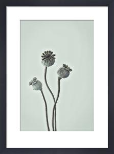Cedar Croft Poppy by Deborah Schenck