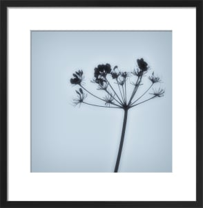 Cow Parsley by Deborah Schenck