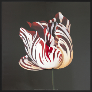 Parrot Tulip Study in Red by Hampton Hall