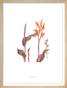 Plate 25 Canna indica Purpurea by Annie Patterson