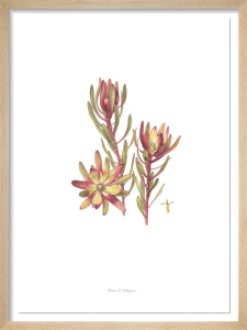 Plate 37 Leucadendron Safari Sunset by Fiona McKinnon
