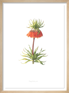 Plate 9 Fritilleria imperialis by Sally Crossthwaite