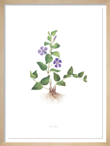Plate 91 Vinca major by Sally Vincent