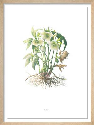 Plate 35 Helleborus orientalis by Elizabeth Cadman