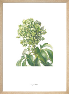 Plate 34 Helleborus argutifolius by Jenny Phillips