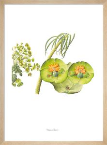 Plate 47 Euphorbia characias by Stephanie Berni