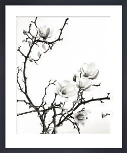 Branch of magnolia by Henry Wilson