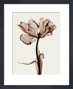 Parrot Tulips by Steven N. Meyers