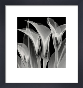Four Callas III by Steven N. Meyers