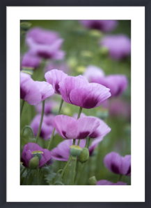 Pink Poppies IV by Richard Osbourne