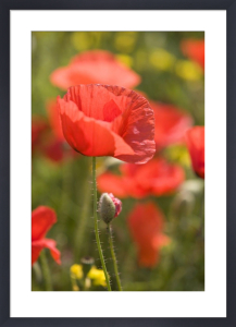 Red Poppies II by Richard Osbourne