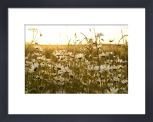Oxeye Daisies III by Richard Osbourne