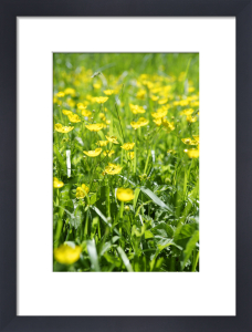 Buttercups II by Richard Osbourne
