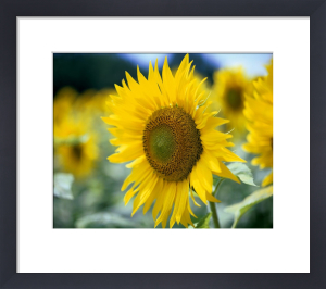 Sunflowers I by Richard Osbourne