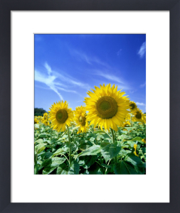 Sunflowers II by Richard Osbourne