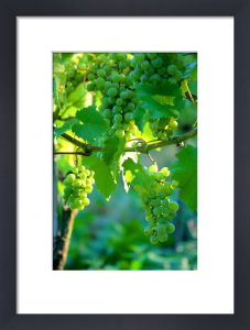 Vineyard III by Richard Osbourne