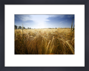 Summer Barley Field by Richard Osbourne