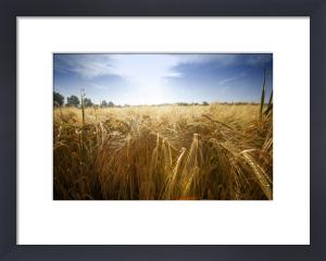 Summer Barley Field by Richard Osbourne
