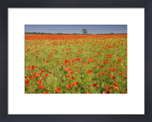Red Poppies III by Richard Osbourne