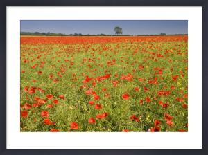 Red Poppies III by Richard Osbourne