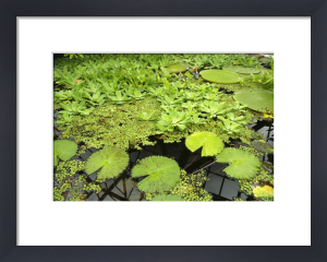 Water Lily Pads by Richard Osbourne