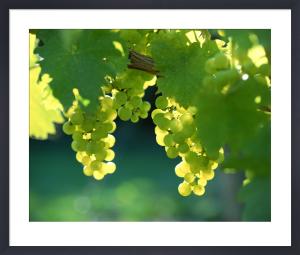 Grapes on Vine English Vineyard by Richard Osbourne