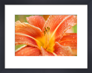 Orange Lily by Richard Osbourne