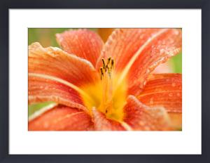 Orange Lily by Richard Osbourne