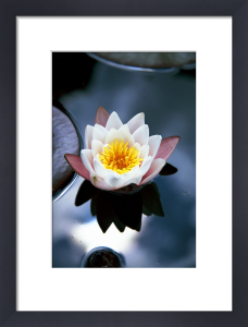 Waterlily I by Richard Osbourne